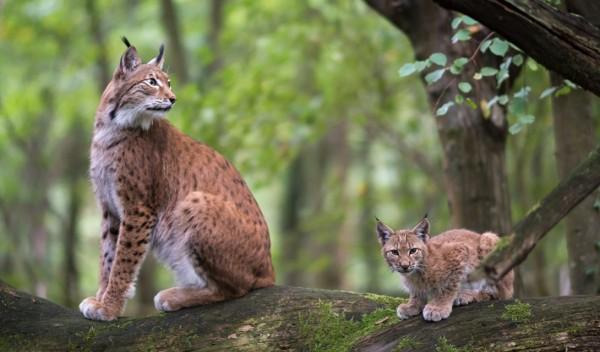 Lynx mère et fille dans les forêts de Franche-Comté © Les Saisons