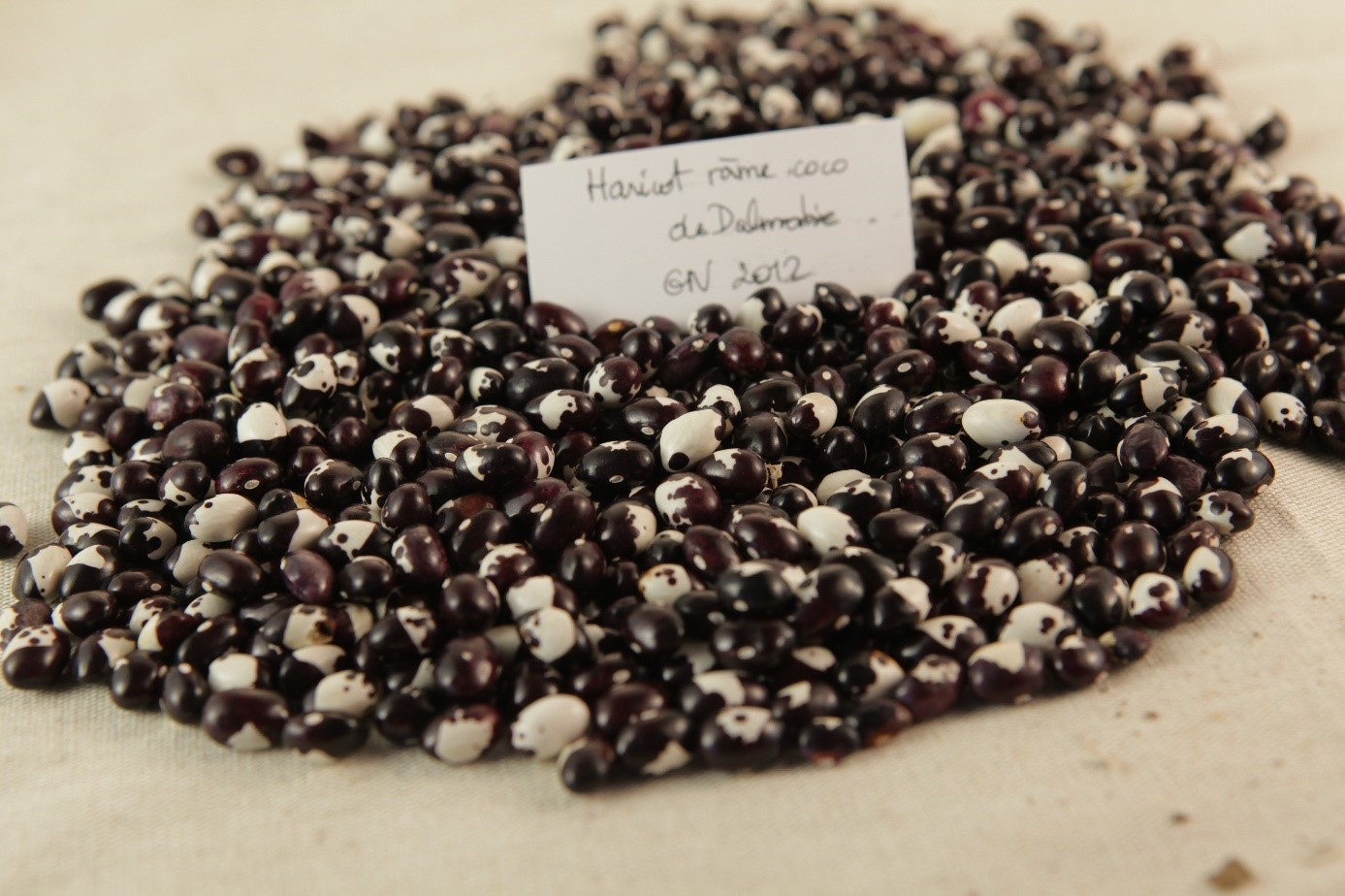 Semences de haricots – © Semences buissonnières