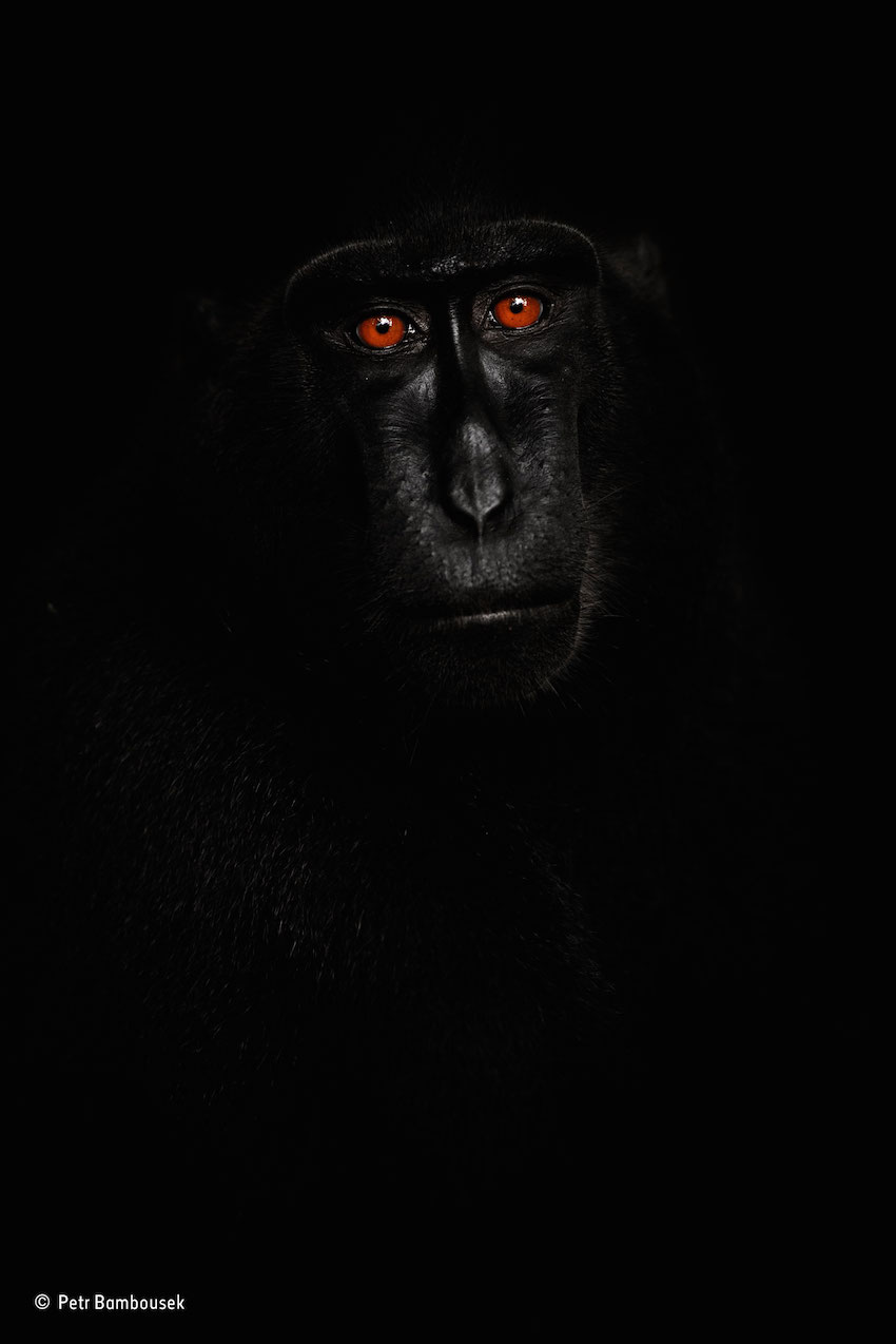 Black Creasted Macaque