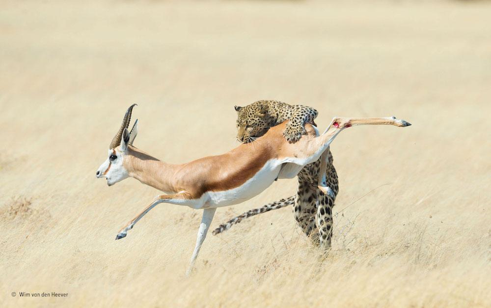 Leopard and Springbok