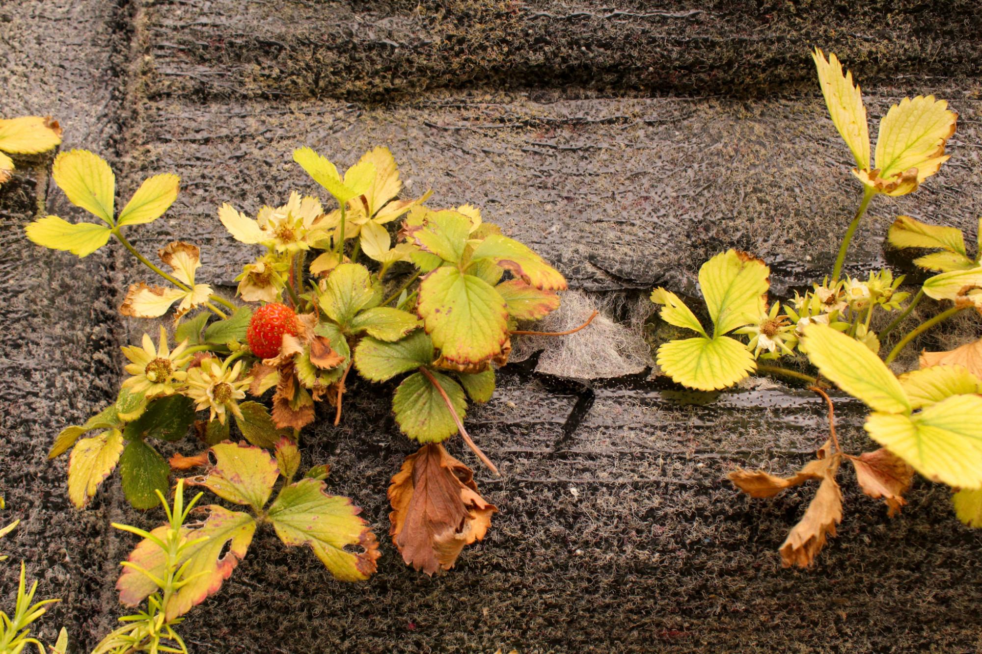 Les premières fraises du potager urbain du Relais / ©Cypriane El-Chami