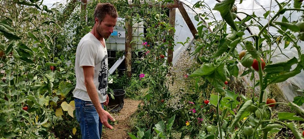 Dans l'une de ses deux serres, Xavier Loyer, originaire de Groix, cultive de nombreuses tomates cœur-de-bœuf . © Kaizen magazine